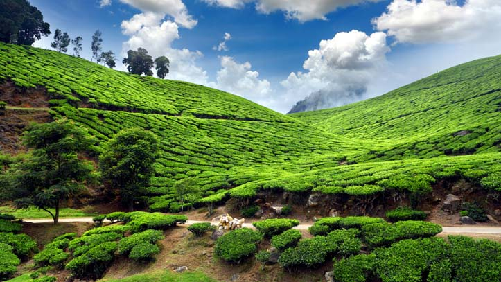Inde-Munnar-champs-de-the