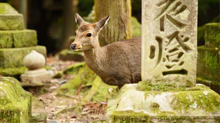 Parc de Nara et daim