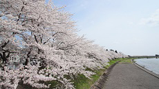 Cerisiers de Kakunodate