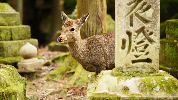 Nara parc daims Japon