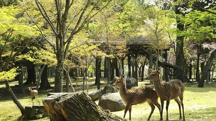 Parc de Nara et ses daims