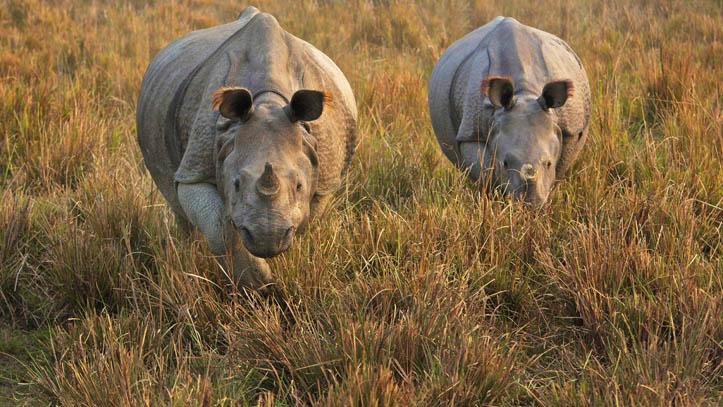 Rhinocéros d'Inde