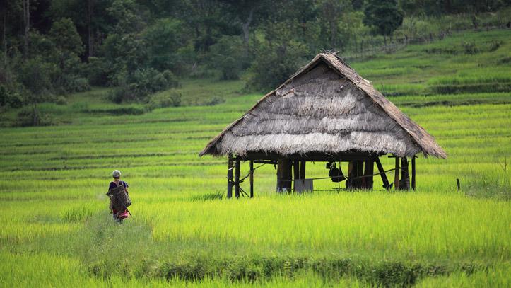 Une rizière verdoyante et fertile au Cambodge