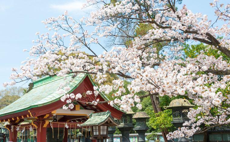 tokyo-cerisier-parc-ueno