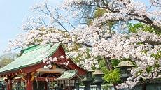 Tokyo-cerisiers-Parc-d-Ueno