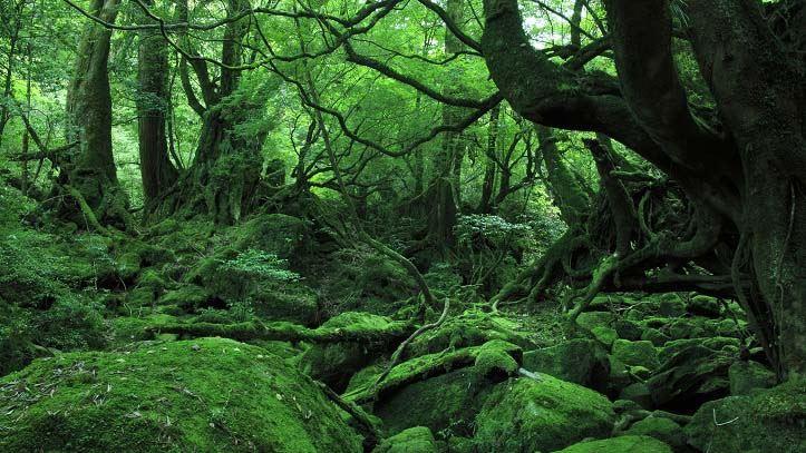 Fôret de cèdres de l'île de Yakushima