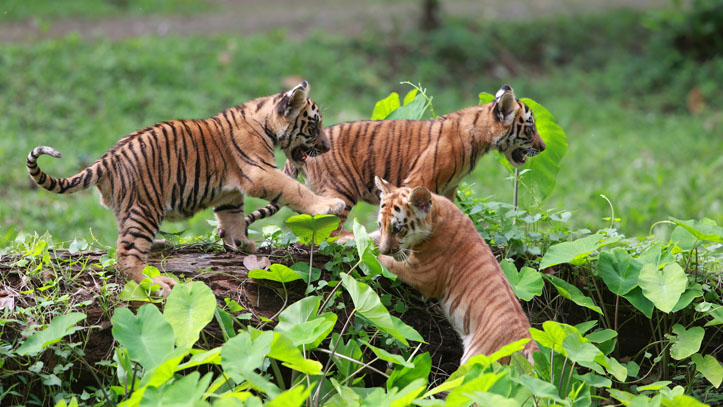 bebes tigres