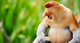 Borneo: les singes nasique du parc national de bako