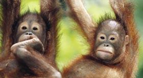 Les Orangs Outans de la réserve de Sepilok