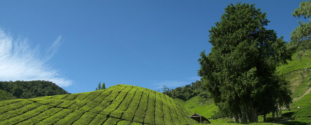 Cameron Highlands: paysage de plantation de the