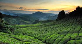 Une plantation de thé au coucher du soleil