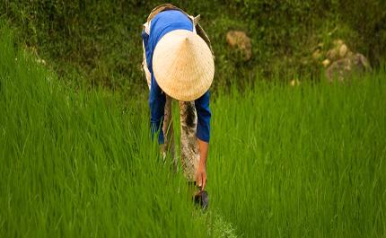 Champs de riz Printemps