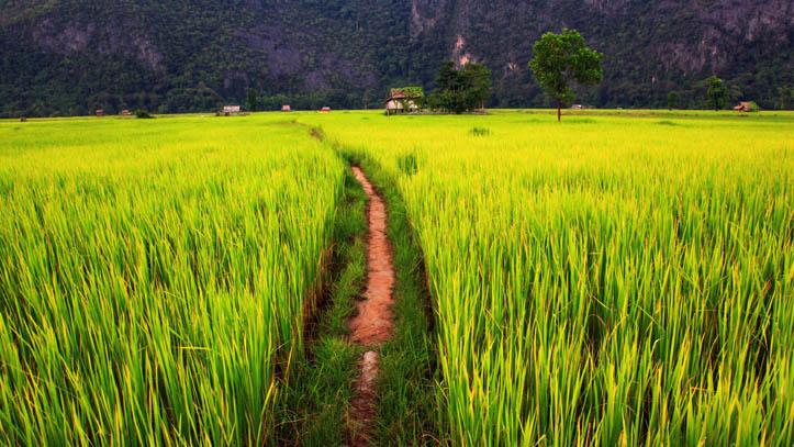 Champs verdoyant laos