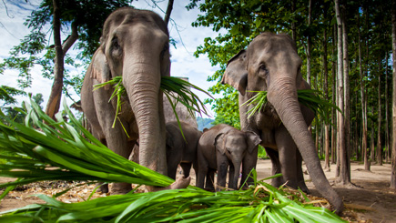 repas-des-elephants