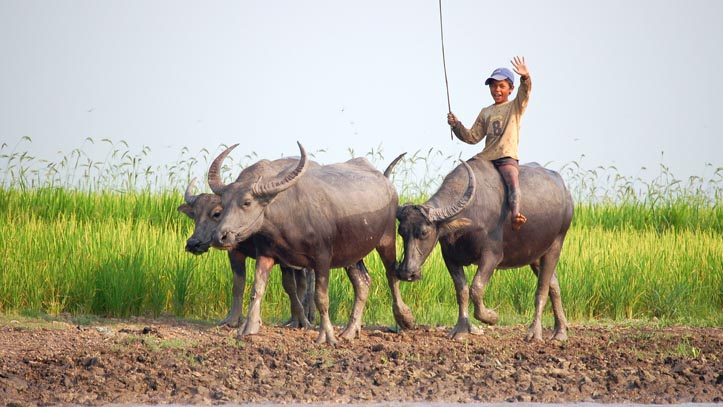 enfant buffle campagne cambodge