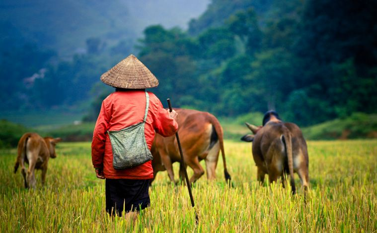 homme-berger-rizieres-vietnam