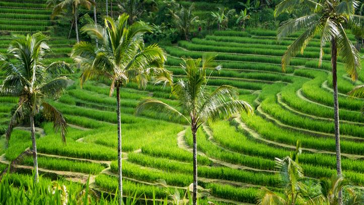 ile jalituwih indonesie riziere