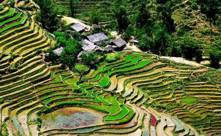 Champs de riz