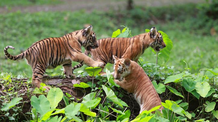 Indonésie bébés tigres