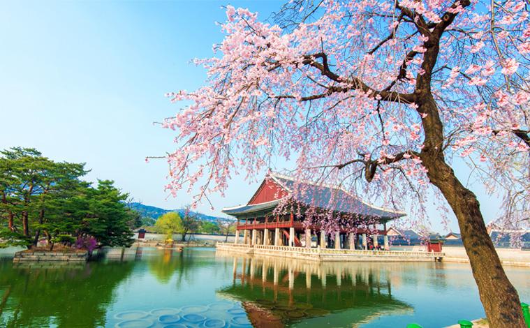 palais-Gyeongbokgung-cerisiers