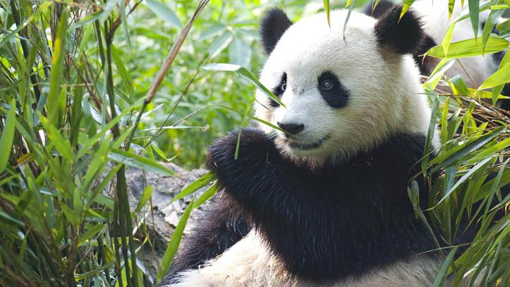 panda-geant-mange-bambou-chengdu-chine