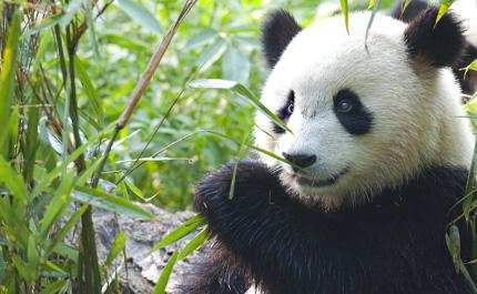 Panda géant bambou