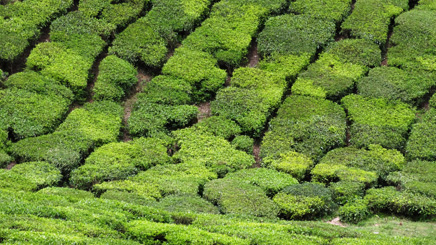 Forêt de cèdre de lîle de Yakushima