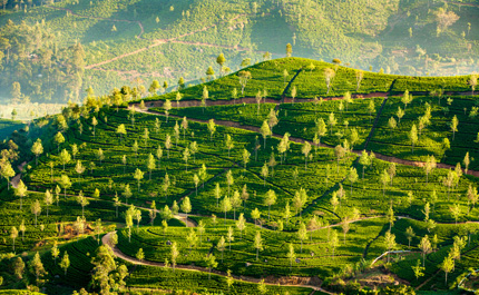 sri-lanka-paysage-plantation-the