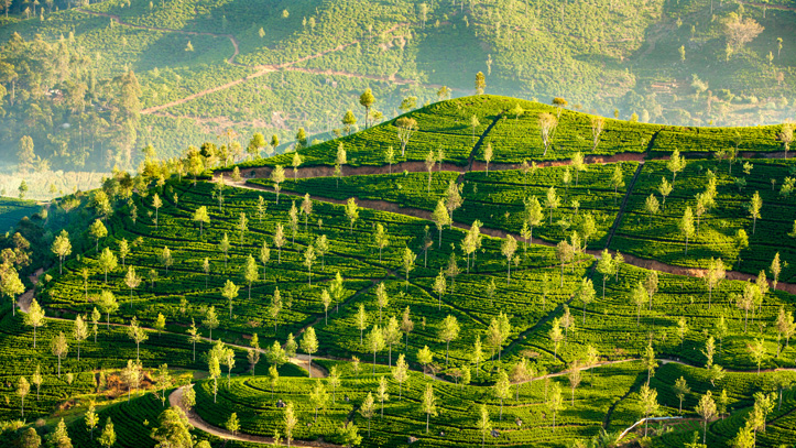 sri-lanka-paysage-plantation-the