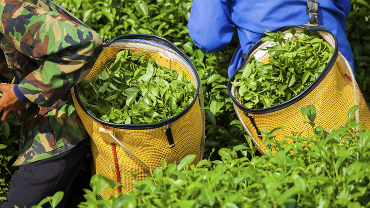 srilanka-plantations-thé
