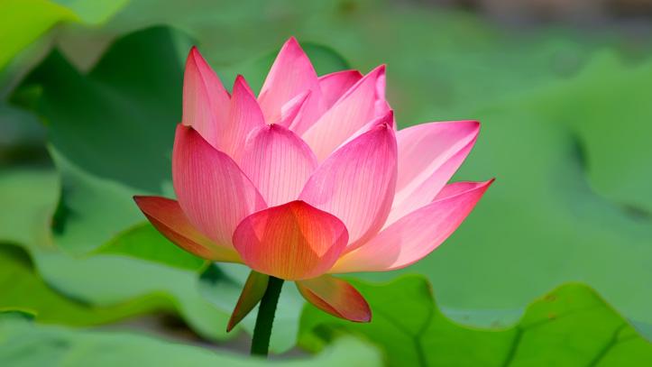thailande lotus