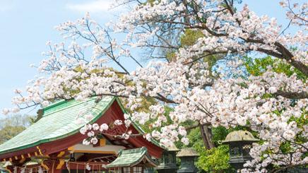 Tokyo-cerisiers-parc-ueno1