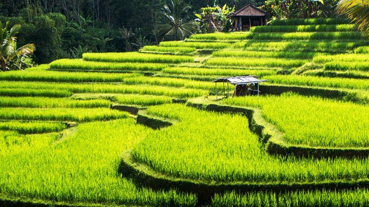 Rizières Ubud Indonésie