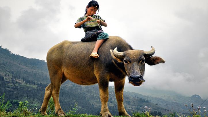 Vietnam buffalo filles