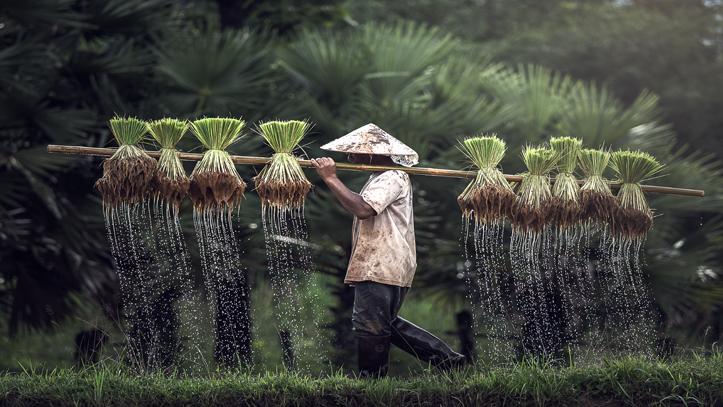 Vietnam fermier riziere