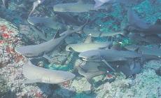 Promotion Croisière plongée Cocos Island à bord du Okeanos Aggressor 2