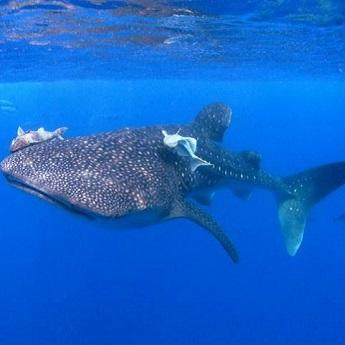 Visuel Promotion Croisière plongée Cocos Island à bord du Okeanos Aggressor 2
